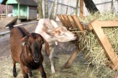 Unsere beiden Ziegen Laura und Minette